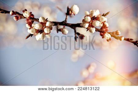 Bud, buds on fruit tree - nature is awake, new life begins