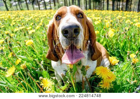 Basset Hound Smiling Happy With Blurry Backgroundof Full Around Of Dendelion Field, Yellow Flower An