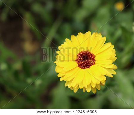 Common marigold is a common name for several plants in the Asteraceae family cultivated as ornamentals for their large, generally orange blossoms.