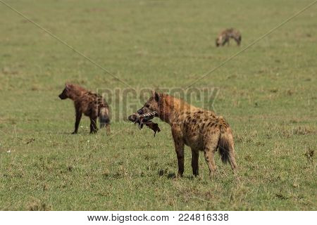 a hyena carrying its share of the spoils on the grasslands of the Maasai Mara, Kenya