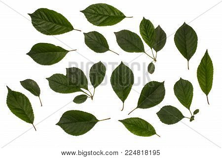 Green Leaves Of Raspberry, Garden Raspberry, Complex Pinnate Leaf