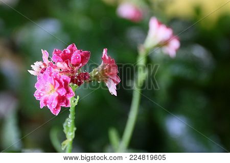 beautiful wet dew from the flower Kalanchoe