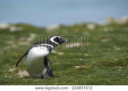 Magellanic Penguin (Spheniscus magellanicus) heading inland from the sea on the coast of Bleaker Island in the Falkland Islands.
