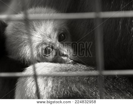 A baby lar gibbon ape, Hylobates lar, in a zoo behind the bars. A young monkey has big dark expressive eyes and childly-looking snout.