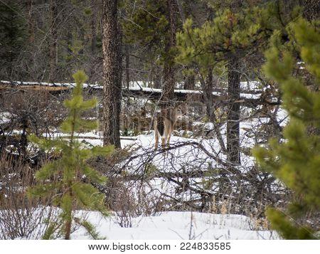 Beautiful white-tailed deer in Jasper National Park, Canada