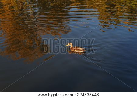 Female mallard, mottled wild duck, with brown speckled plumage swimming in crystal clear lake water