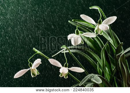 The beautiful snowdrop flower is wet on rainy day on dark green background.