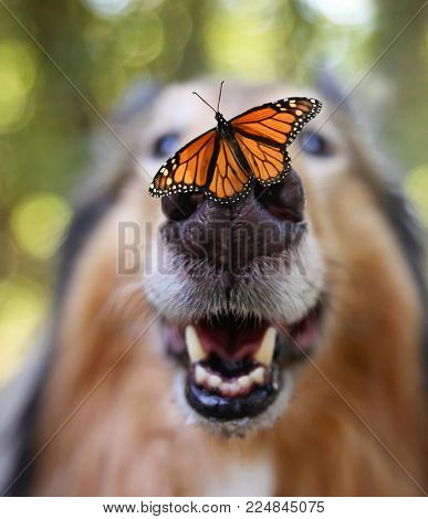 wide angle of a long haired collie sheepdog with a butterfly on his nose r