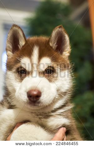Pretty husky little puppy sits on  hands and looking at camera. Portrait small friend Siberian husky dog. Selective focus. Close-up.