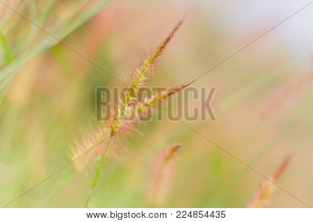 Mission grass or desho grass in the evening sky, Evening in the meadow, Beautiful pastures in the evening, reative nature images used as background, Selective focus