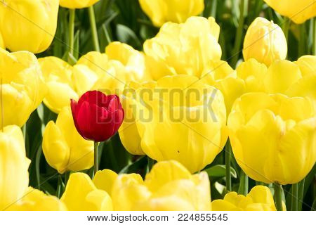 Red Tulip On Yellow Tulip Flower Background (concept Of Variation, Different, Leadership)
