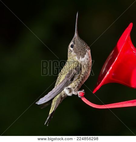 Ruby Throated Hummingbird (archilochus colubris)  female sitting on feeder