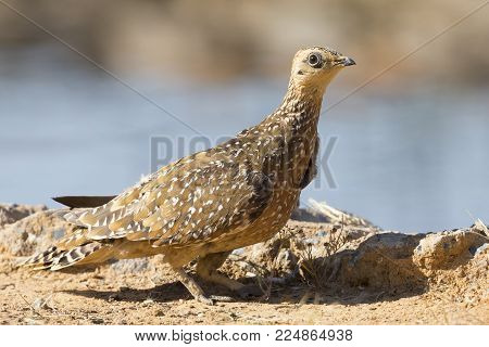 Burchell's Sandgrouse female drinks water from a waterhole in the Kalahari desert