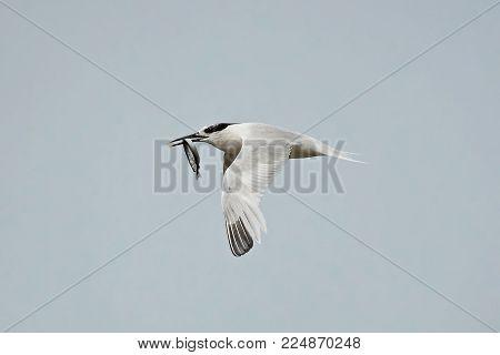 Sandwich tern in flight with a fish in its beak