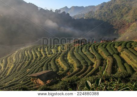 Top view of Tea plantation 2000 and the mist that floated on the mountain at Doi Ang Khang , Chaing Mai, Thailand.