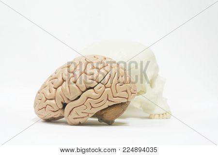 Human Brain And Skull Model On White Background