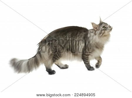 Tabby Cat Walking On A White Background