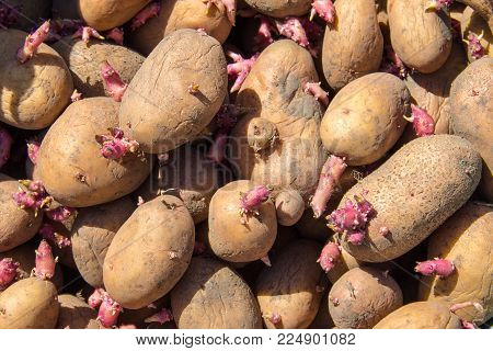 Background Of Potatoes For Planting In The Garden. Germinated Seed Potatoes