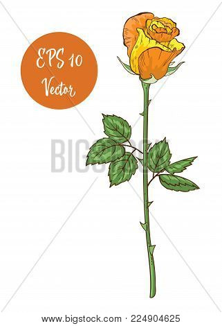 Single Yellow Rose Flower Vector Illustration, Beautiful Valentine Rose On Long Stem Isolated On Whi
