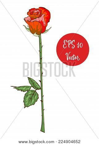 Single Red Rose Flower Vector Illustration, Beautiful Red Valentine Rose On Long Stem Isolated On Wh