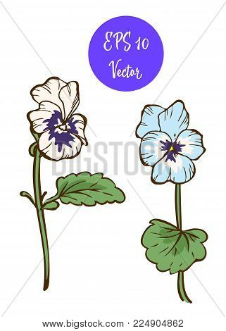 Two Pansies Flower Vector Illustration, Beautiful Flowers Isolated On White Background