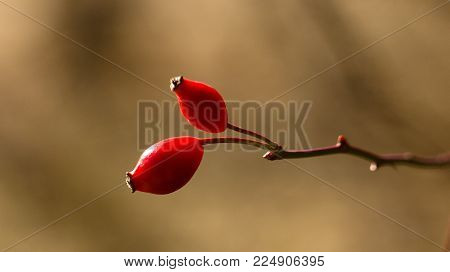 Rosehip, rose rose background, red fruit for tea preparation.