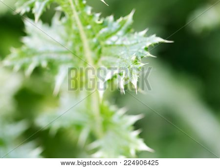 prickly plant in nature as a background .