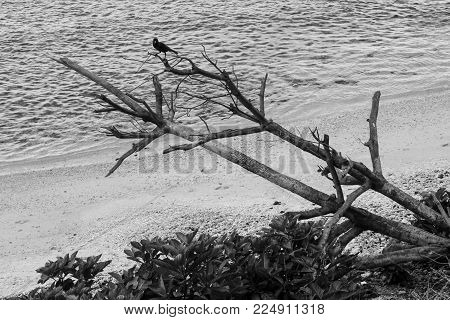 Black and white photo. Sand beach. Raven on a branch of a dry fallen tree