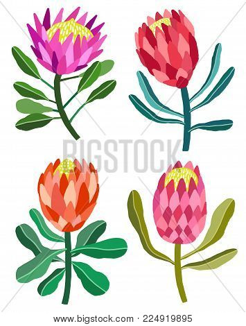 Protea flower vector illustration isolated on white