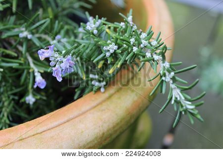 Fresh Rosemary herb plant with buds and purple flowers. Invigorating Refreshing Stimulating
