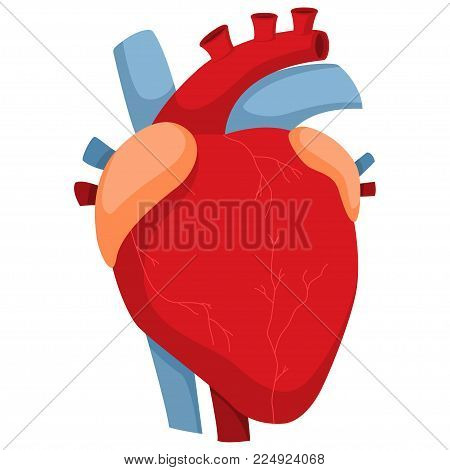 Human heart arteries valves vector photo bigstock human heart with arteries and valves vector cartoon illustration of anatomy internal organ isolated on ccuart Gallery