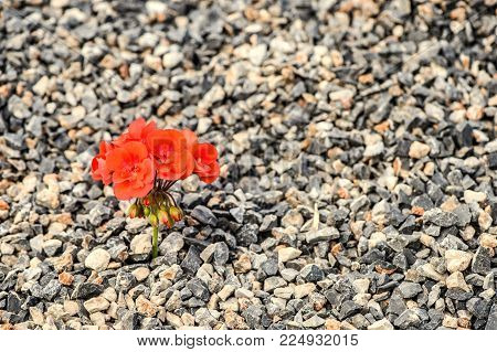 Close-up of red flower growing up from the gravel. The concept of life and motivation. Struggle for life. Desire to live