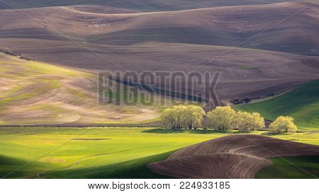 Palouse Region with Row of Trees in Sunlight