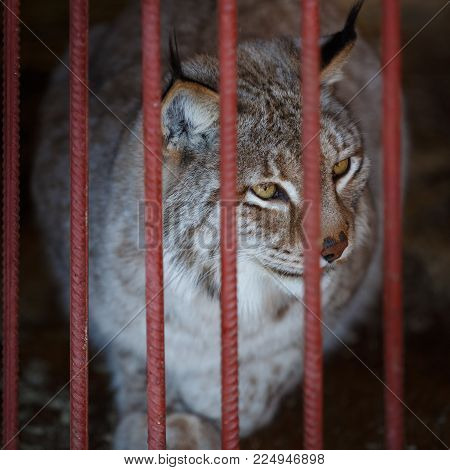 Adult lynx sits in a cage in the zoo. Lynx is one of the rarest species of mammals in the world