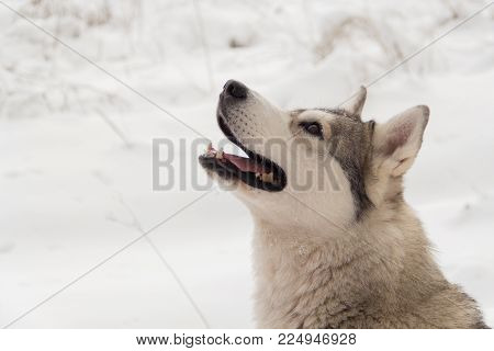 Siberian husky wolf dog in winter forest on the snow