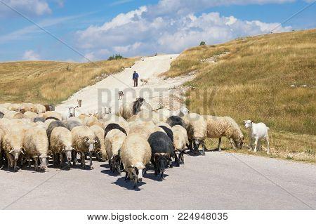 Landscape with herd of sheep. Balkans, Montenegro, Krnovo