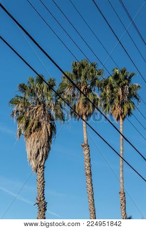 Three Washingtonia fan palm trees viewed through electrical wires, bright blue sky, vertical aspect