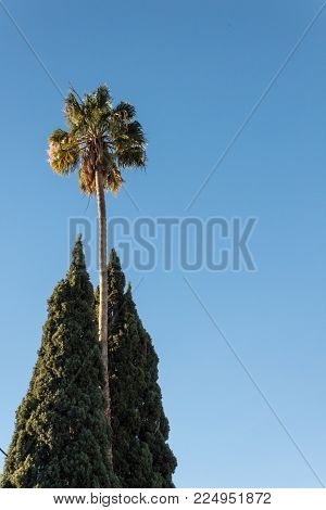 Very tall Washingtonia fan palm tree flanked by two Italian cypress trees against a blue sky, copy space, quintessential southern California, vertical aspect