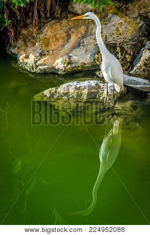 A Great Egret standing at the water's edge, with it's reflection in the water. Dominican Republic.