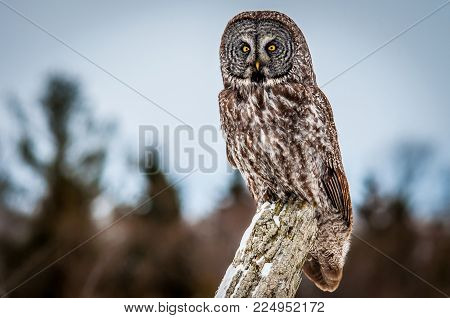 Great Grey Owl posing on a fence post in a farm field, on a cold cloudy winter day. Ontario, Canada.