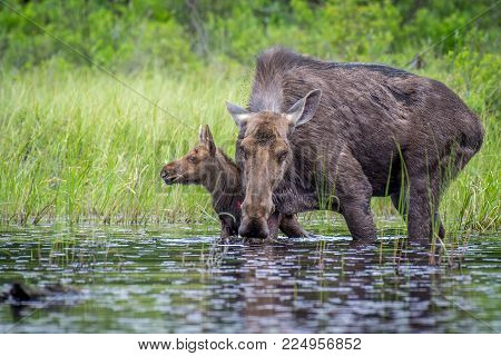 A Moose Cow And Hercalf At The Edge Of The Lake. Ontario, Canada.