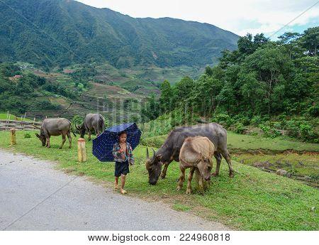 Sa Pa, Vietnam - May 31, 2016. An Ethnic Boy With Buffaloes On Road In Sa Pa, Vietnam. Sa Pa Is A Mo