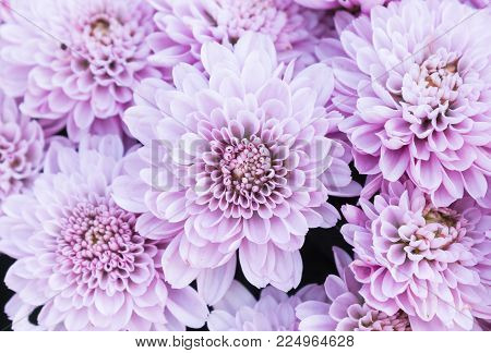 Ligth purple or violet Mum flowers in garden. Beautiful Mum flowers background. Mum flower for design or decoration. Cute Mum flowers  for love scene.