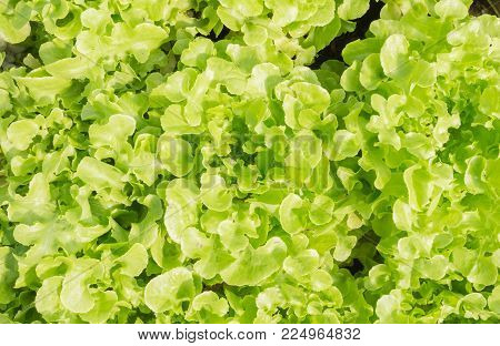 Green oak lettuce or green lettuce for diet health. Fresh green oak lettuce or green lettuce for vegan or vegetarian food. Hydroponic green oak  lettuce or green lettuce.