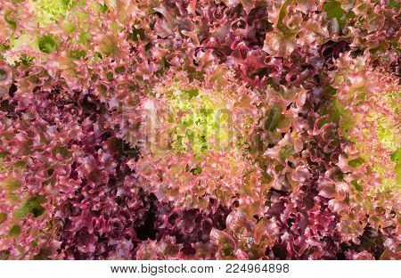 Red leaf lettuce or red coral in garden. Fresh red leaf lettuce or red coral texture. Red leaf lettuce or red coral for health. Vegetarian food red leaf  lettuce or red coral.
