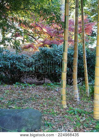 Beautiful Japanese garden scene in a Tokyo park. Japanese garden with stone, bamboo trunks and foliage in foreground and red bushes, bamboo leaves and green bushes in background.