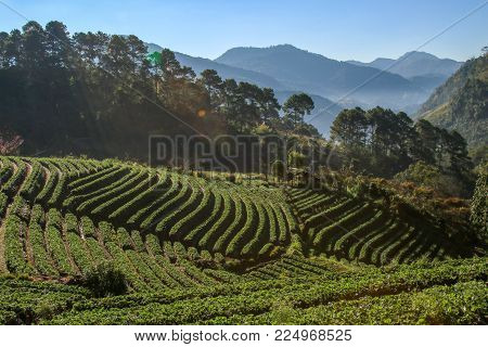 Strawberry field and sunshine in morning at Doi Angkhang chiang mai, Thailand.