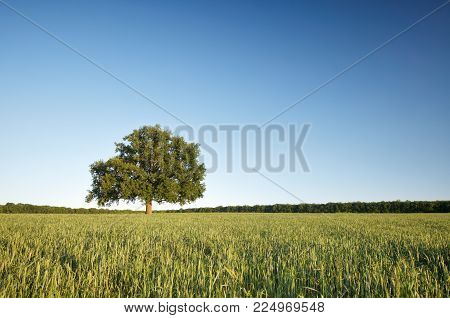The big lonely oak tree on a green wheat field against the blue sky.