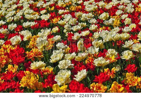 Flower background - Canadian Tulip Festival in Ottawa, Canada.