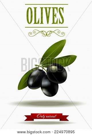Green branch of black olives, realistic olives, vector illustration, olive label